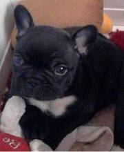 French Bulldog Puppy For Sale kc reg french bulldog puppies for sal