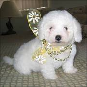 Registered Bichon Frise Puppies For Sale