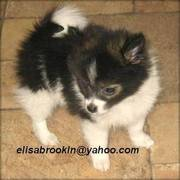 Cutest Pomeranian Puppies Ready to go Now