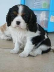 Quality Cavalier King Charles puppies available now