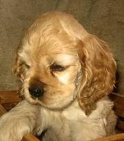 KC English cocker spaniel puppies for sale