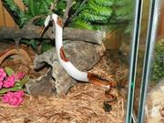 piebald pythons for sale.